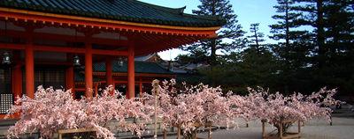 桜みくじ 平安神宮